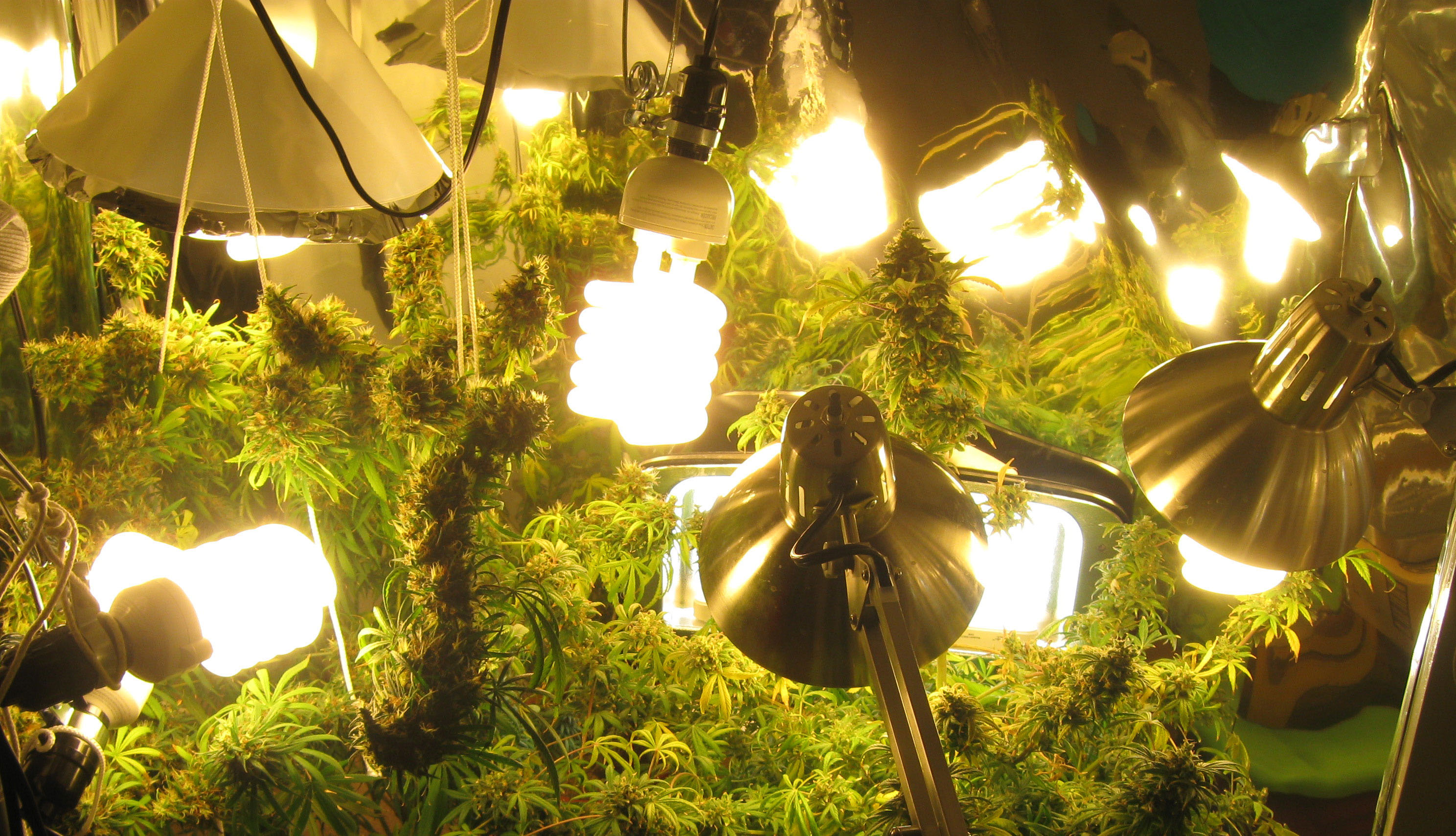 Conseils importants pour la culture du cannabis en interieur for Cannabis plantation interieur